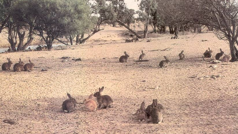 rabbit pests in australia A listing of pest animals in victoria including feral or wild cats, red fox, mice, feral   early introductions of european rabbits into australia were domestic breeds.